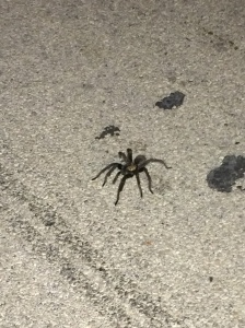 The biggest tarantula Pauline has ever seen... in the middle of the road... like it ain't got time to worry about cars.